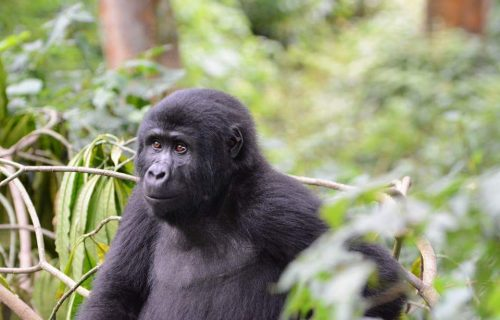 3 Days gorilla trekking safari Uganda from Kigali - Wild Jungle Trails Safaris Uganda