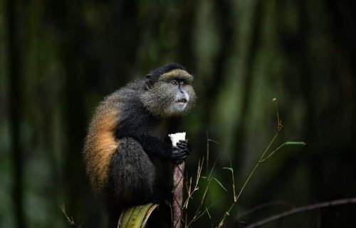 Golden Monkey Tracking Uganda - Wild Jungle Trails Safaris Uganda