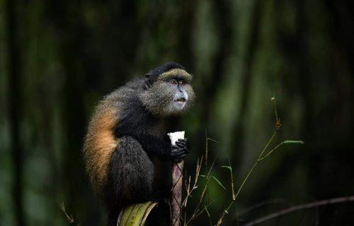 Golden Monkey Tracking Uganda - Wild Jungle Trails Safaris Uganda