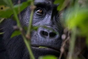 Gorilla trekking in Uganda - Wild Jungle Trails Safaris Uganda