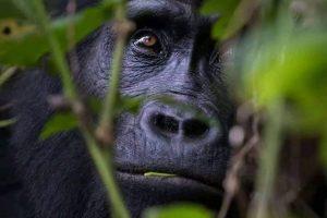Gorilla trekking in Uganda - Wild Jungle Trails Safaris Uganda