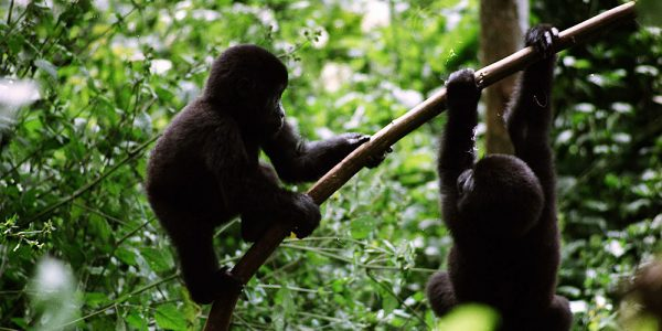 4 Days double Gorilla Trekking Safari Bwindi National Park - Wild Jungle Trails Safaris