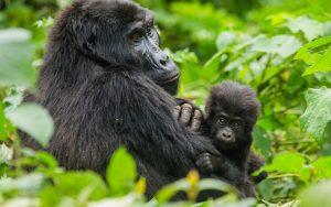 5 Days Congo gorilla safari