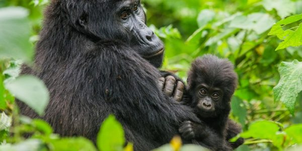 5 Days Congo gorilla safari