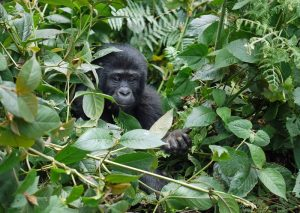 9 Days Uganda chimpanzee trekking and Primate Safari, Gorilla trekking in Uganda