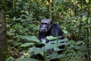 9 Days Uganda chimpanzee trekking and Primate Safari - Wild Jungle Trails Safaris