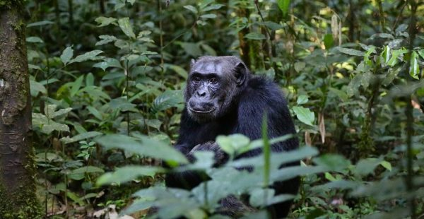 9 Days Uganda chimpanzee trekking and Primate Safari - Wild Jungle Trails Safaris