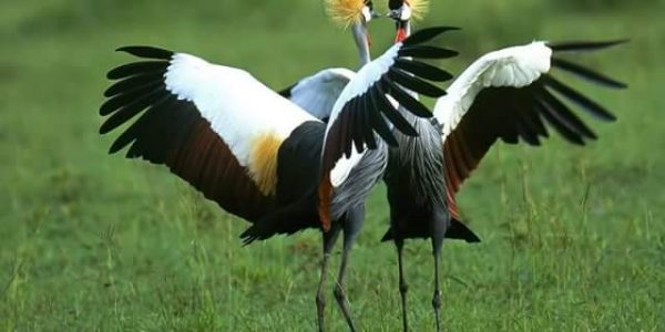 Bird species in Uganda - Wild Jungle Trails Uganda