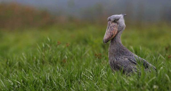 Birds in Murchison Falls National Park