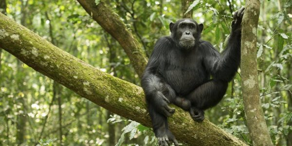 Chimpanzee tracking Uganda - Wild Jungle Trails Safaris