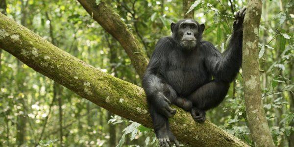 Chimpanzee tracking Uganda - Wild Jungle Trails Safaris
