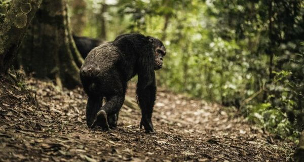 Chimpanzee tracking in Gishwati-Mukura National Park