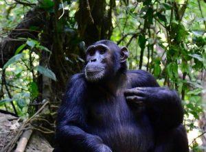 Chimpanzee trekking at Mahura Forest