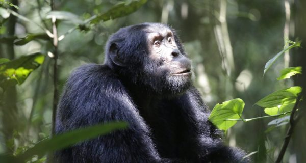 Chimpanzees in Kibale Forest National Park