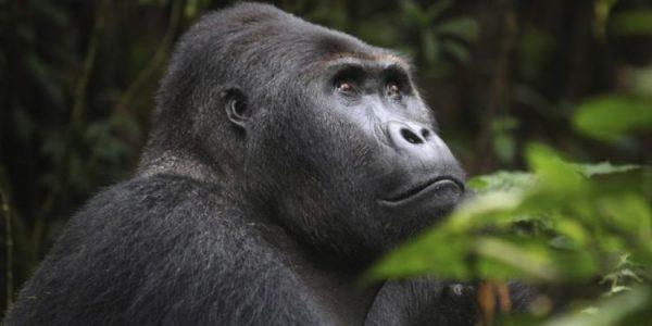 Congo gorilla safaris – Mountain and Lowland Gorillas /congo safaris