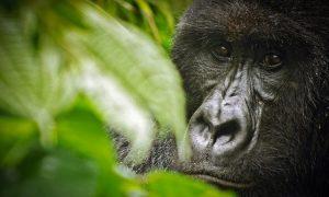 First gorilla trek in Virunga National Park