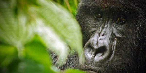 gorilla trek in Virunga National Park - 6 Days