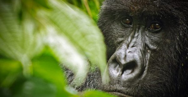 gorilla trek in Virunga National Park - 6 Days