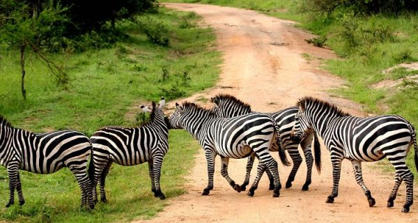 Game drives in Lake Mburo National Park
