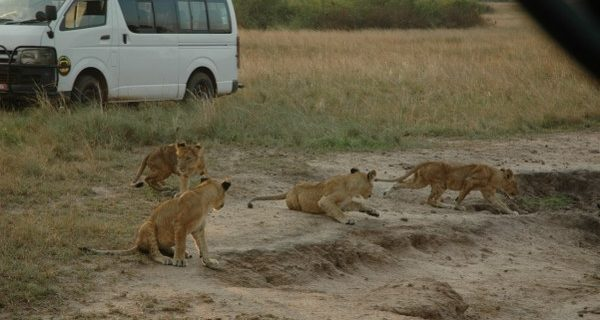 Game drives in Murchison Falls National Park - Wild Jungle Trails Safaris