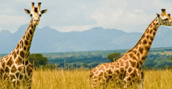Game viewing in the kidepo valley national park