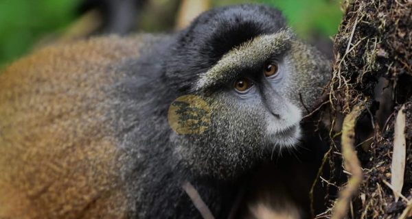 Golden Monkey trekking in Mgahinga Gorilla National Park