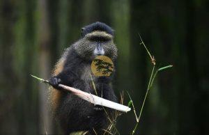 Golden Monkeys in Uganda Safaris - Wild Jungle Trails Safaris Uganda