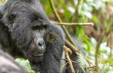 Gorilla Trekking Uganda, budget gorilla safaris - Wild Jungle Trails Safaris Uganda
