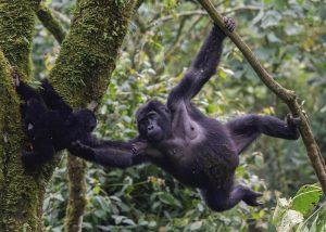 Gorilla and baby - 16 Days Uganda wildlife, Gorilla and Chimpanzee trekking safari - Wild Jungle Trails Safaris