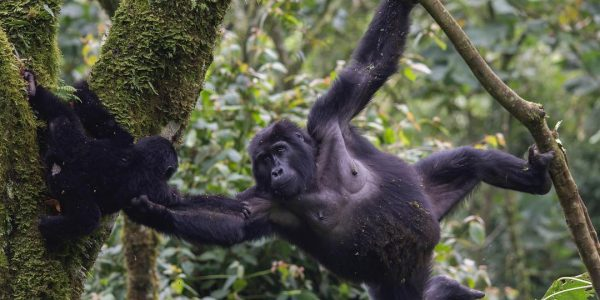 Gorilla and baby - 16 Days Uganda wildlife, Gorilla and Chimpanzee trekking safari - Wild Jungle Trails Safaris