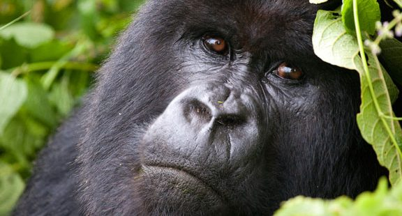 Gorilla trekking in Virunga National Park Congo
