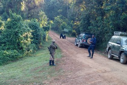 Gorilla trekking made easy: Silverback Gorilla and family come to Rushaga sector tracking start point