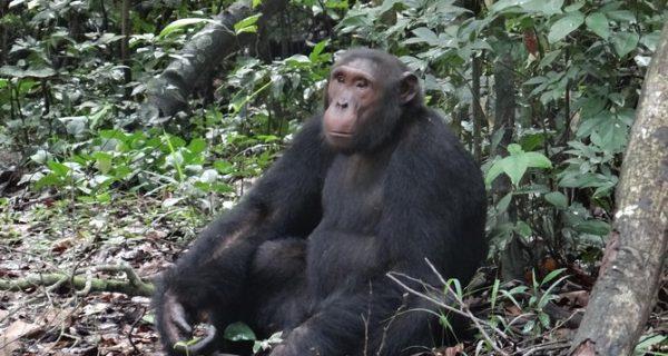 Kaniyo-Pabidi and Budongo forest chimps
