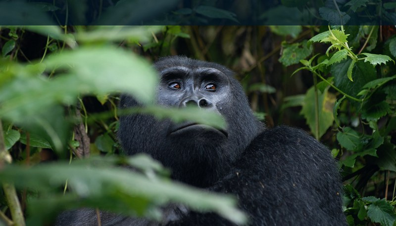 Mountain Gorilla trekking in Mgahinga Gorilla National Park
