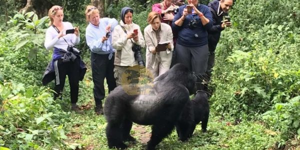 Mountain Gorillas in Uganda - Wild Jungle Trails Safaris Uganda