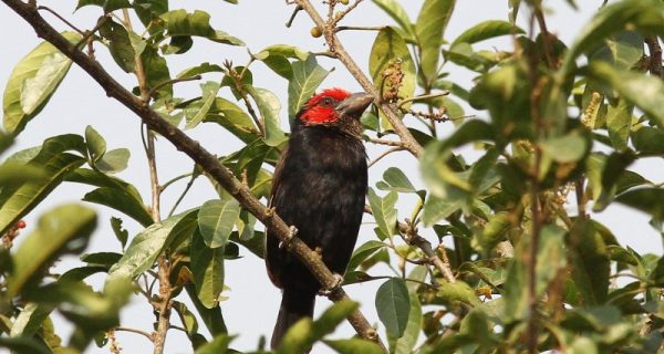 Red-faced Barbet in Lake Mburo National Park