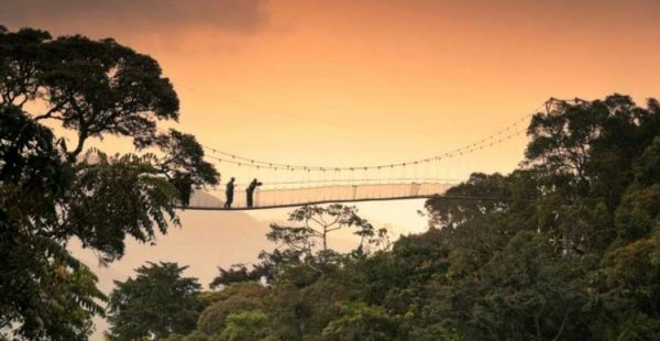 Rwanda Safaris Nyungwe Forest Canopy Walk - Wild Jungle Trails Safais