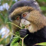 Rwanda Safaris golden monkey trekking rwanda - Wild Jungle Trails Safaris
