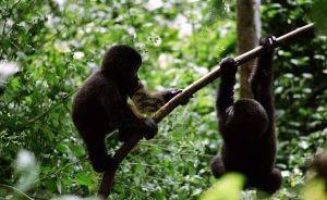 Rwanda safaris gorilla - Wild Jungle Trails Safaris Uganda