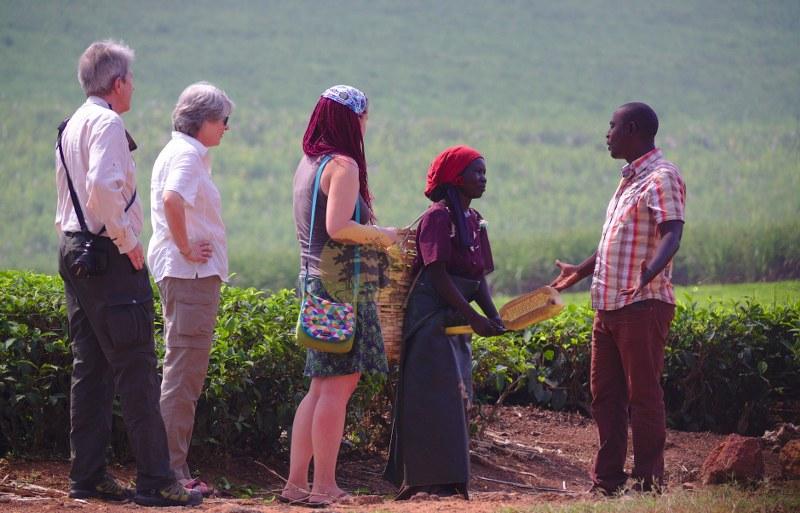 Tea plantation - uganda safaris