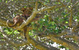 Wildlife Safaris in Uganda - Wild Jungle Trails Safaris Uganda