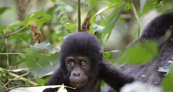baby gorilla Bwindi Impenetrable National Park