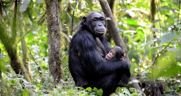 Chimpanzee tracking in Queen Elizabeth National Park - Wild Jungle Trails Safaris