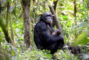 chimp trekking uganda - Wild Jungle Trails Safaris Uganda