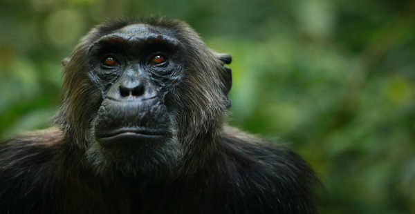 chimpanzee trekking in Uganda - Wild Jungle Trails Safaris