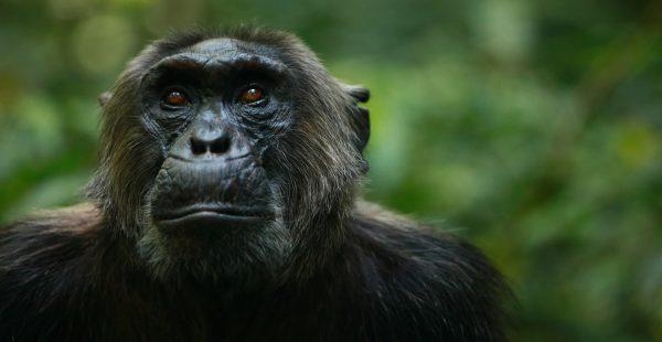 chimpanzee trekking in Uganda - Wild Jungle Trails Safaris