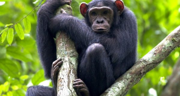 chimpanzee trekking in Virunga National Park Congo