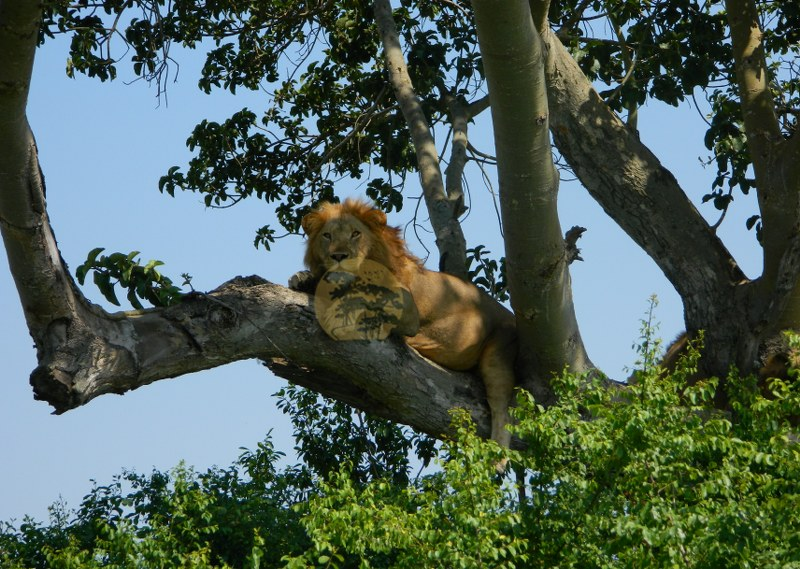 climbing Lions in Uganda Wildlife Safaris
