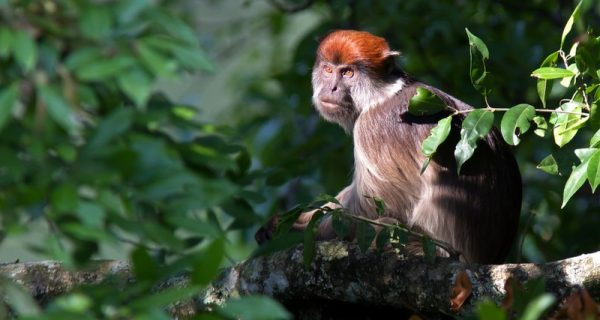 red colobus monkey in Kibale Forest National Park
