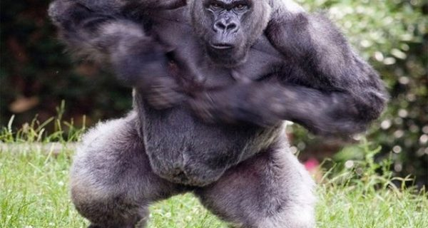 silverback gorillas in mgahinga gorilla national park